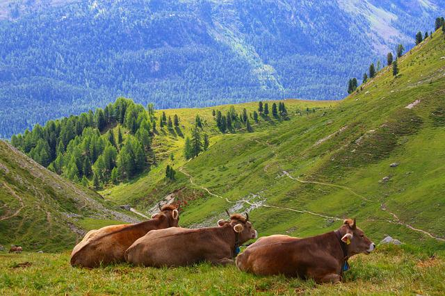 Cow, Swiss, Alps, Switzerland, Nature