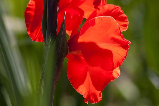 Gladiolus, Sword Flower, Iridaceae, Red, Green, Bloom
