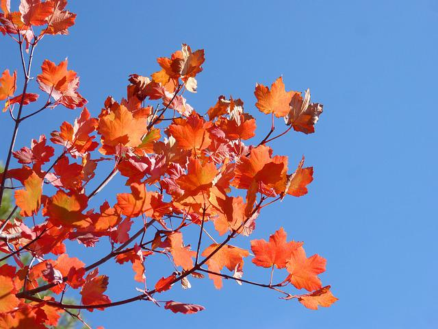 Sycamore, Red Leaves, Autumn, Sky, Beauty, Fall Color