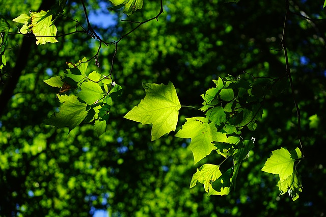 Sycamore, Leaves, Tree, Green, Bright, Platanen Leaves