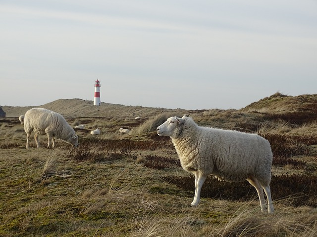 Sylt, Elbow, Sheep, Grasses, Grass, Meadow, Nature