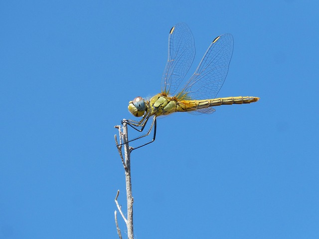 Dragonfly, Branch, Winged Insect, Sympetrum Striolatum