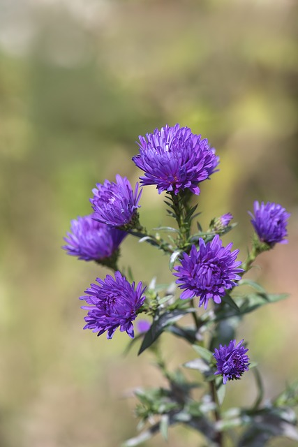 Asters, Blue, Herbstastern, Fall Asters, Symphyotrichum