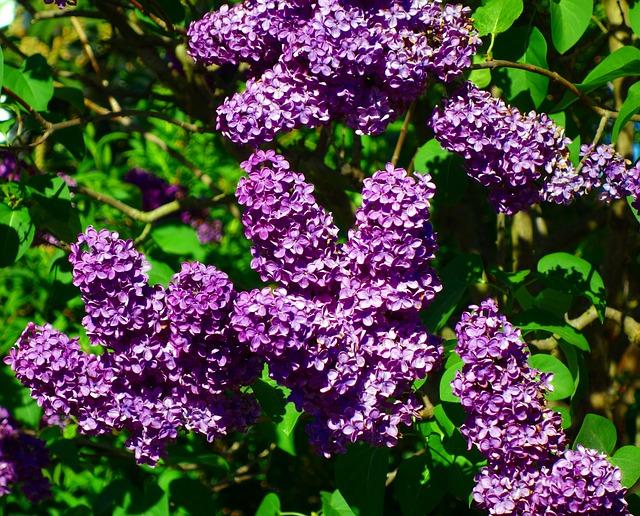 Lilac, Syringa, Flower, Plant, Bush, Nature, Garden