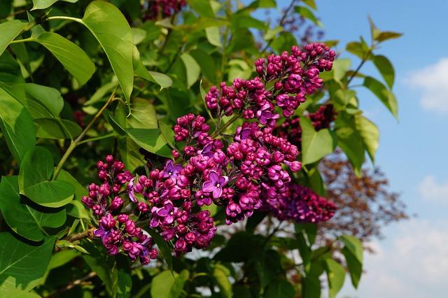 Lilac, Syringa, Ornamental Shrub, Blossom, Bloom