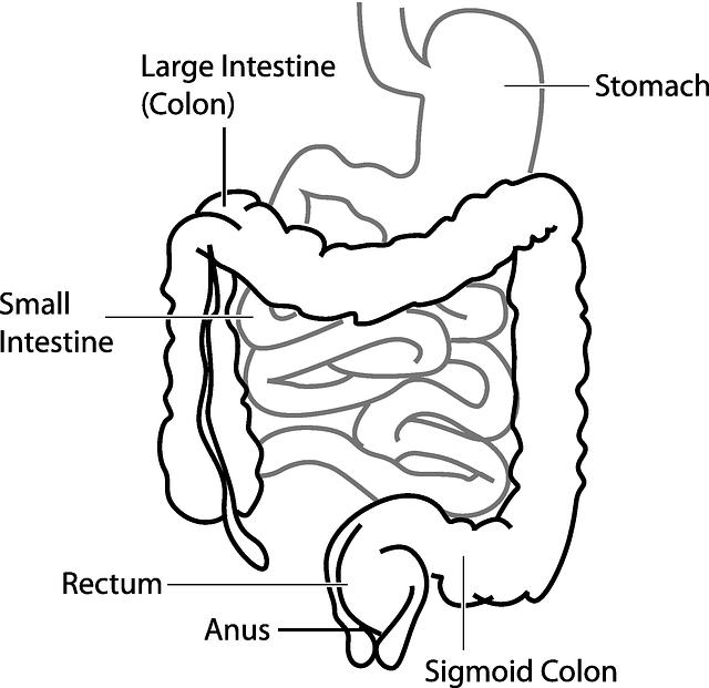 Diagram, Digestive, System, Stomach, Intestine