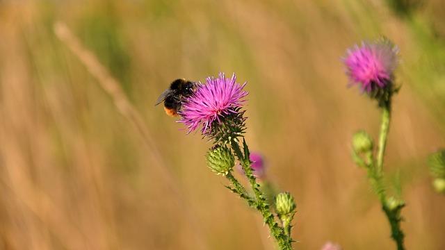 Szamártövis, Wildflower, Purple, Nature