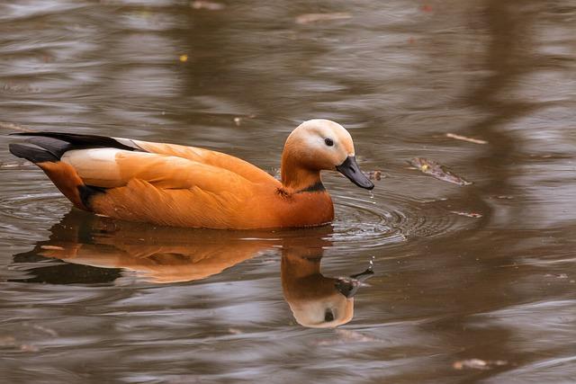 Rust Goose, Tadorna Ferruginea, Water Bird, Swim
