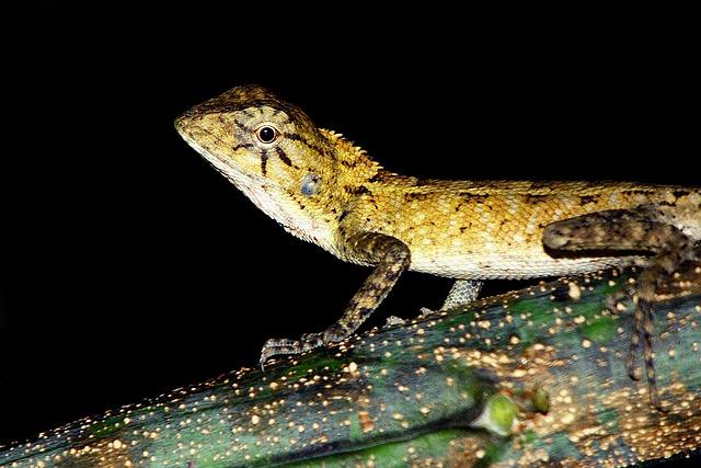 Reptile, Gecko, Italy, Vertebrate, Cyprus, Tail, Crawl