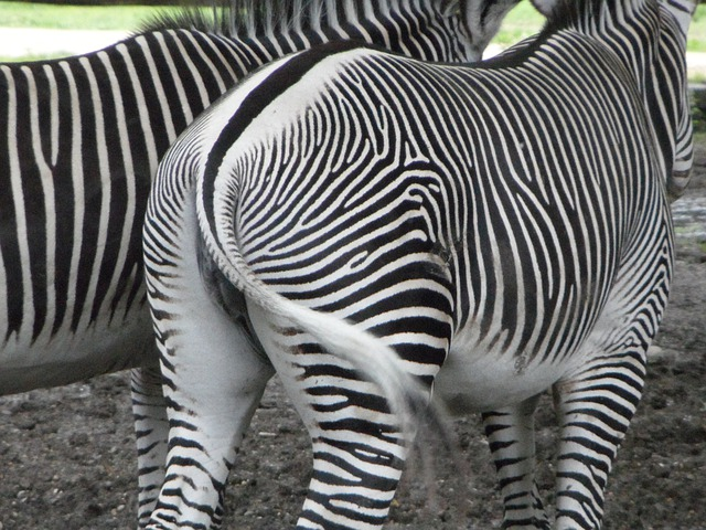 From The Rear, Rump, Zebras, Zebra, Tail, Striped