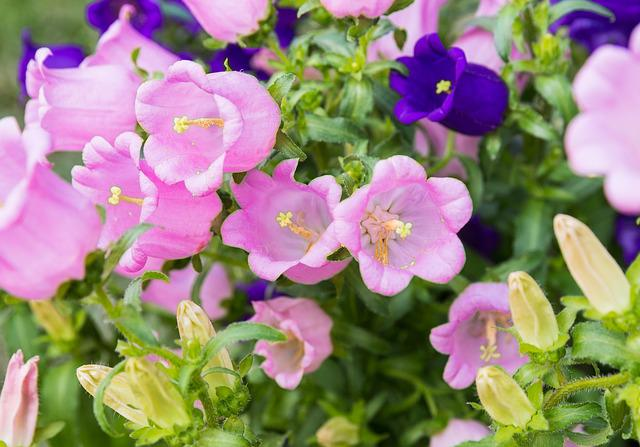 Taiwan, Hsinchu Jianshi, Lavender Forest, Flower, Pink
