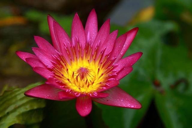 Lotus, Taiwan