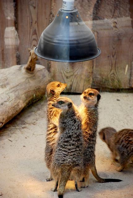 Meerkats, People, Talk, Conspiracy, Gangsters, Suspects
