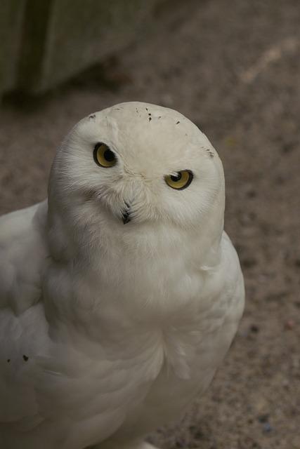 Snowy Owl, Bubo Scandiaca, Bird, Tallinn Zoo, Male