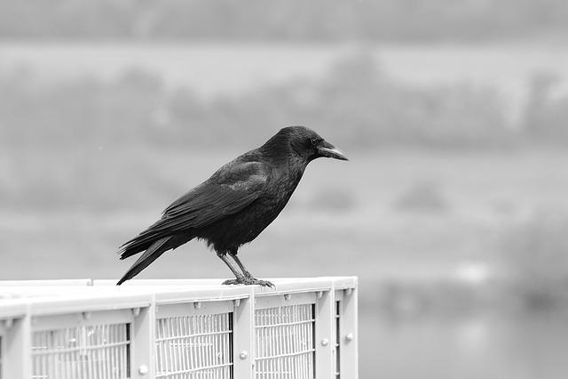 Black And White, Bird, Animal, Beak, Crow, Talons