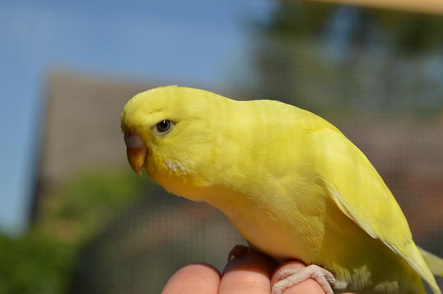 Budgie, Hand, Tame