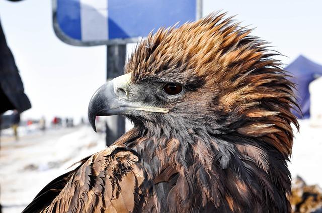 Eagle, Tamed, Bird, Prey, Wildlife, Beak, Nature