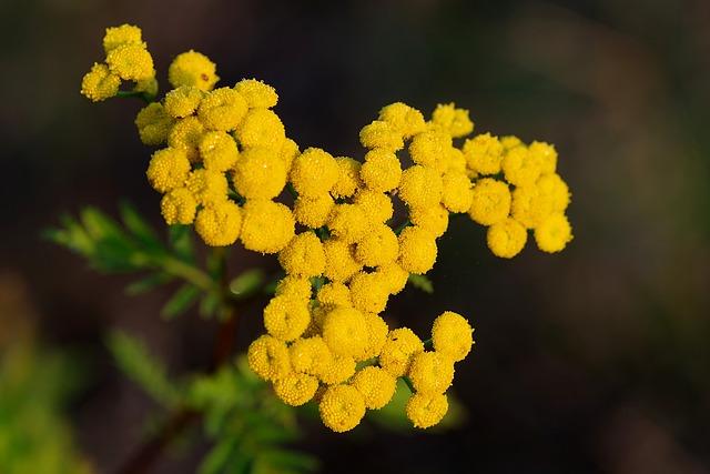 Wrotycz, Herb, Banned, Essential, Tanacetum Vulgare