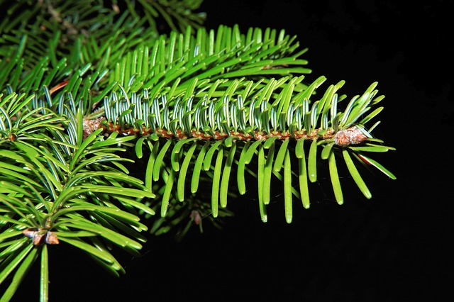 Tannenzweig, Needles, Green, Fir, Branch, Periwinkle