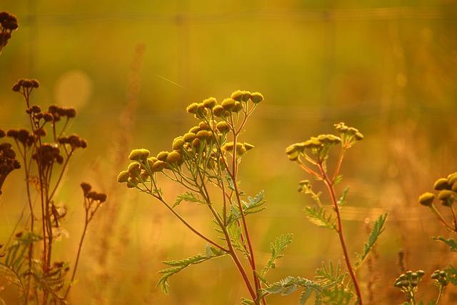 Tansy, Plant, Flower, Moneywort, Nature, Autumn