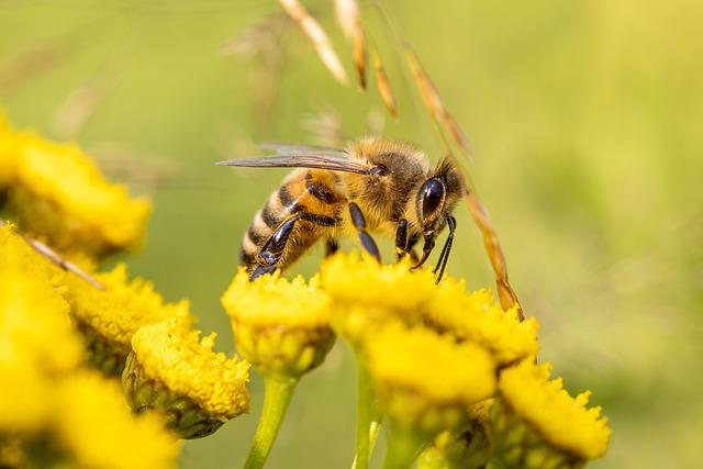 Honey Bee, Bee, Flowers, Insect, Tansy, Yellow Flowers