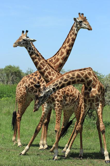Giraffe, Tanzania, Safari, Africa, Animal, Savannah
