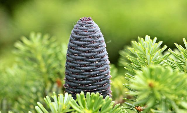 Fir, Pine Cones, Blue Tap, Needles, Tap, Conifer, Green