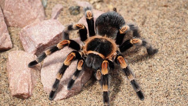 Tarantula, Spider, Animal, Hairy, Nature, Species