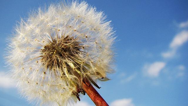 Dandelion, Dandelion Seeds, Taraxacum, Fluffy, Weed