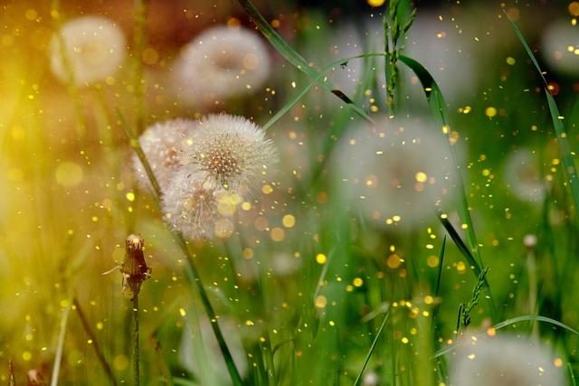 Dandelion, Common Dandelion, Taraxacum Ruderalia