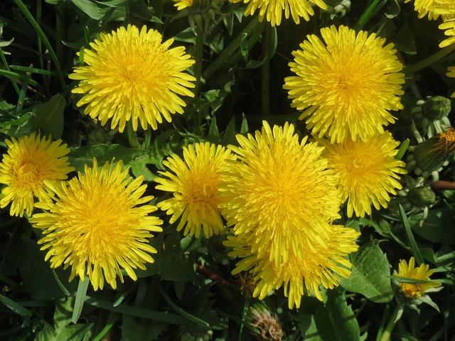 Taraxacum Sect Ruderalia, Dandelion, Wildflower, Meadow