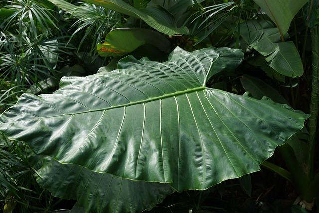 Large Forest Leaf, Yam, Taro Plant, Malaysia, Tropics