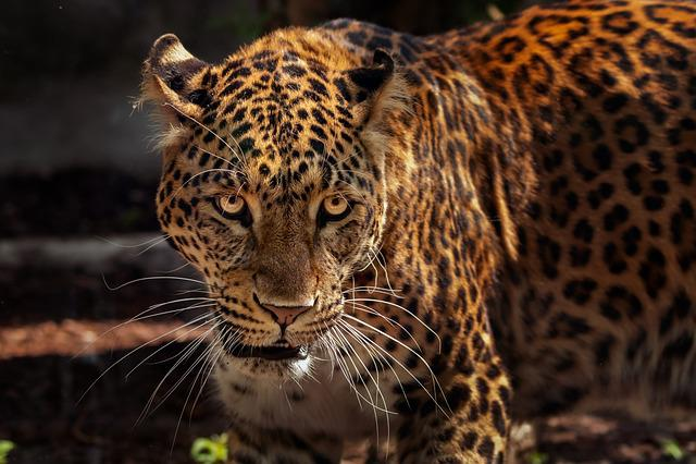 Zoo, Feline, Animal, Tawny, Wild, Jaguar, Nature