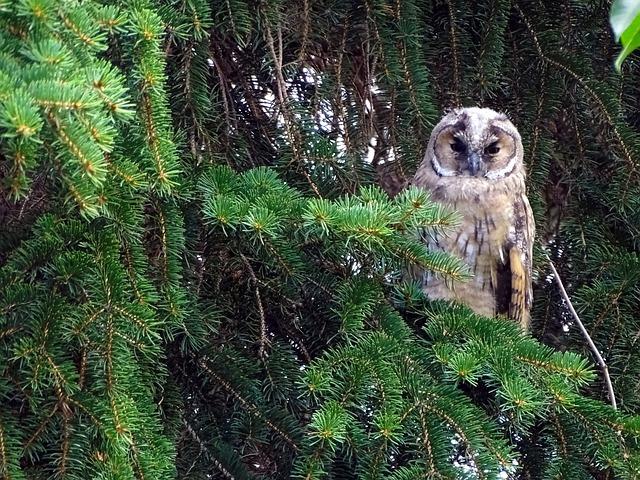 Owl, Long Eared Owl, Tawny Owl, Raptor, Bird Portrait