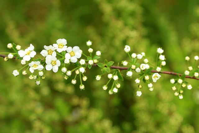 Tawuła, Ornamental Shrub, Spring, Nature, Plant, Flower