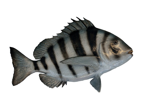 Sheepshead Fish, Mounted, Taxidermy, Scaled, Angler