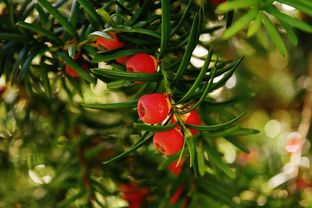 European Yew, Taxus Baccata, Food Plant, Conifer, Yew