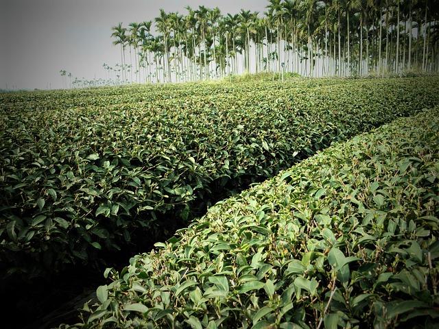 Tea, Areca Catechu Tree, Landscape