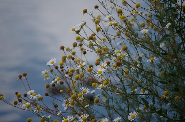 Chamomile, Flower, Plant, Herb, Tea, Health