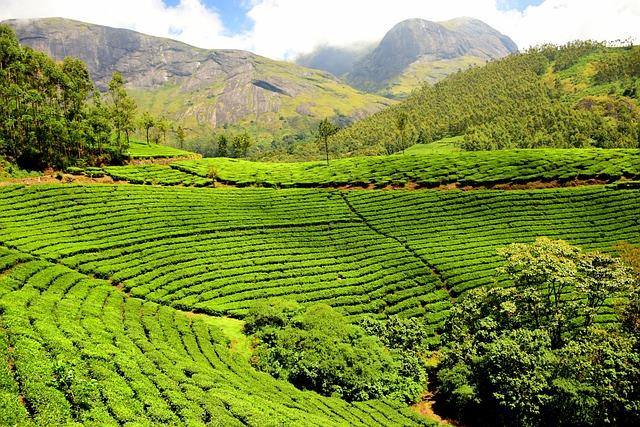 Tea Plantation, Tea Garden, India