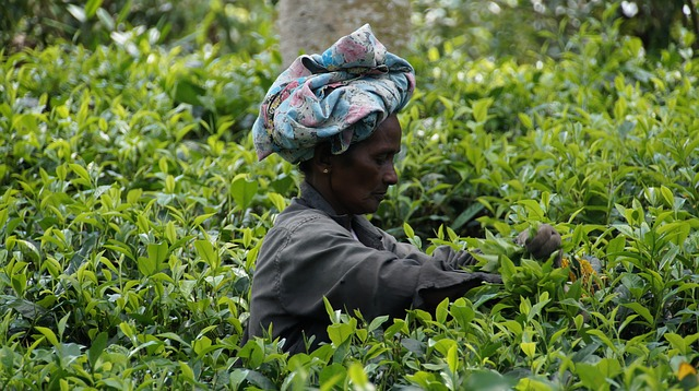 Sri Lanka, Tea Harvest, Tea Plantation, Tee