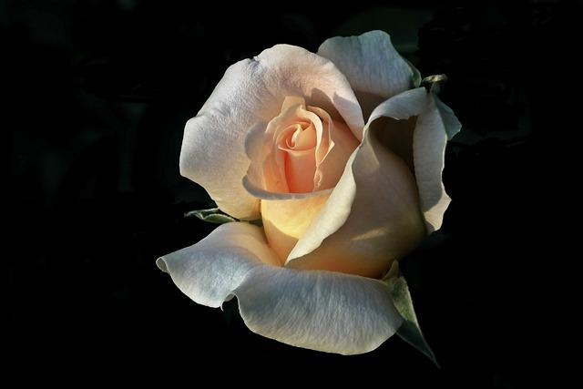 Flower, Rose, Tea, Petal, Nature, Love, Closeup, Summer