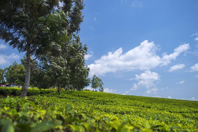 Tea Plantation, Wallpaper, Green, Landscape, Outdoor