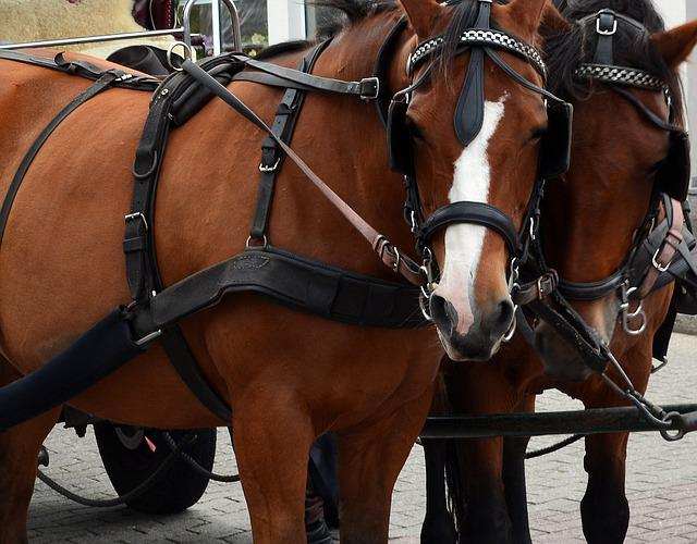 Kutsch Horse, Horses, Coach, Bridle, Team, Draft Horses