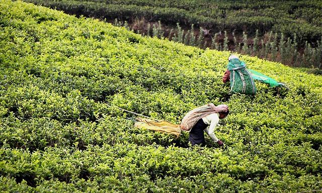 Tea Harvest, Tee, Tea Plantation, Sri Lanka