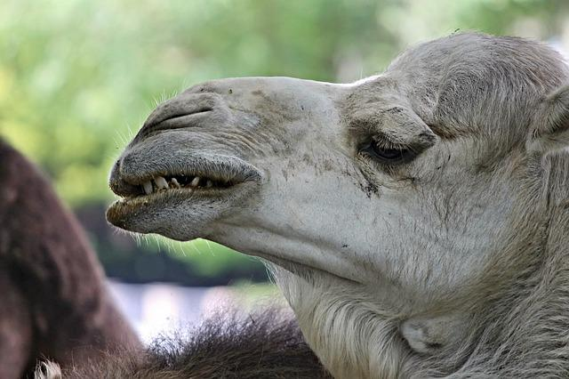 Dromedary, Camel, Teeth, Tooth, Askew, Grin, Foot