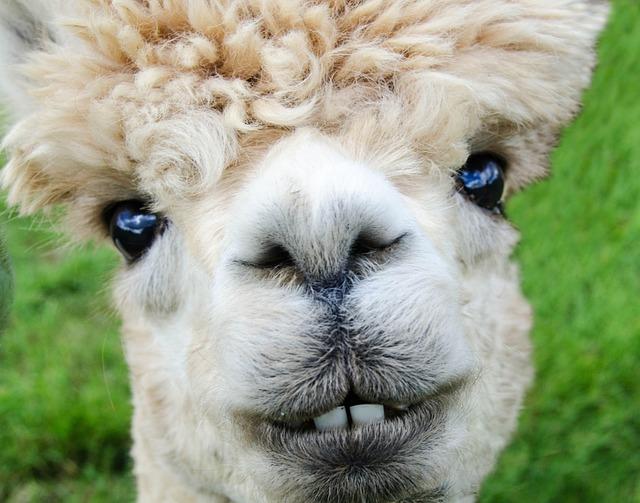Alpaca, Smile, Teeth, Fur, Funny, Farm, Nature, Animal