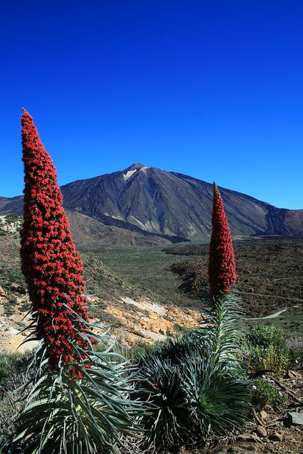 Tajinaste Rojo, Teide, Tenerife, Red Flowers