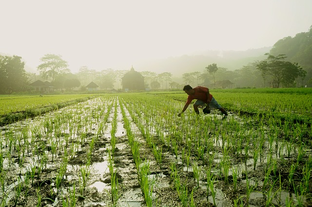 Morning, Sunrise, Farmer, Temple, Banyunibo, Rice