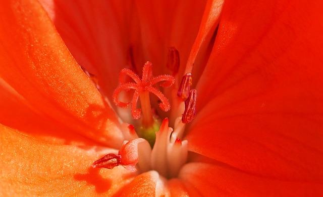 Blossom, Bloom, Geranium, Stamp, Tender, Flower, Pink